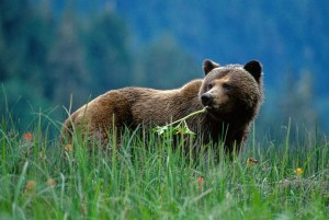 Young grizzly grazes on early summer growth in the Nekite River estuary in British Columbia.